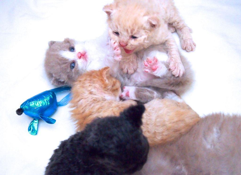Убедиться в подлинности породы можно только по достижении котенком двухмесячного возраста