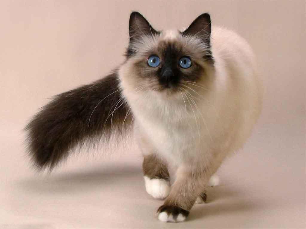 Описание тайской породы кошек и особенности характера
