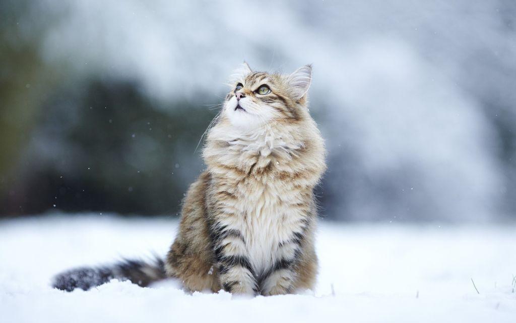 Подробное описание сибирской породы кошек