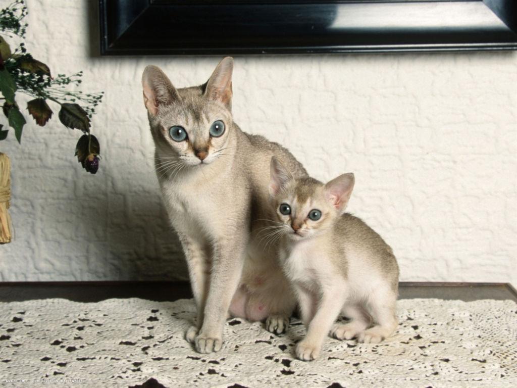 роды сингапурской кошки