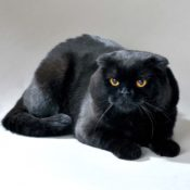Подробное описание породы шотландских черных вислоухих котов