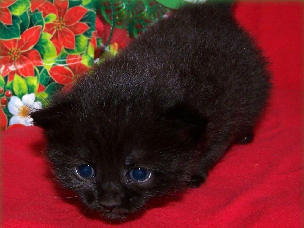Средняя стоимость черного вислоухого котенка - около 20 000 рублей