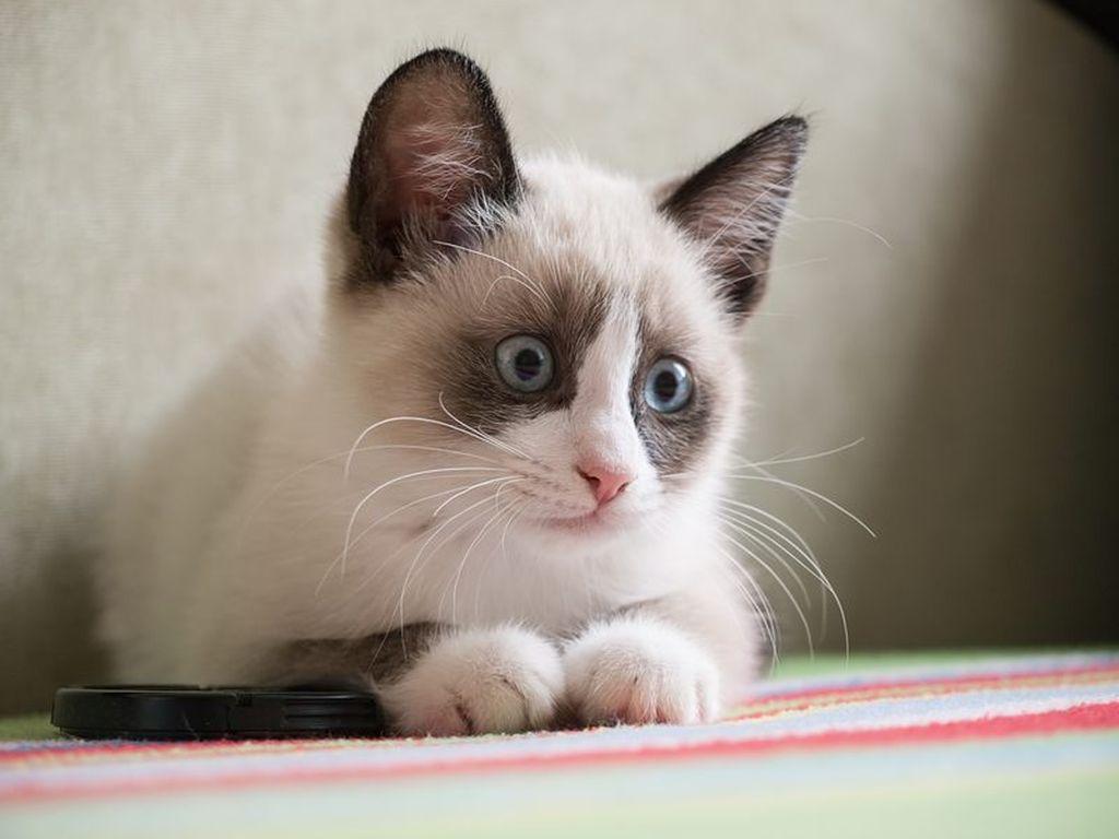 Подробная информация о породе кошек сноу шу