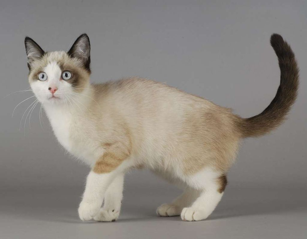 Тело кошек сноу шу крепкое и мускулистое