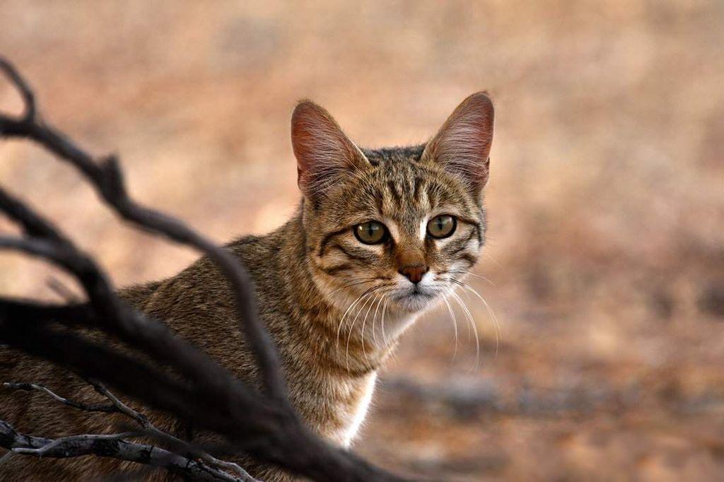 Дикая степная кошка