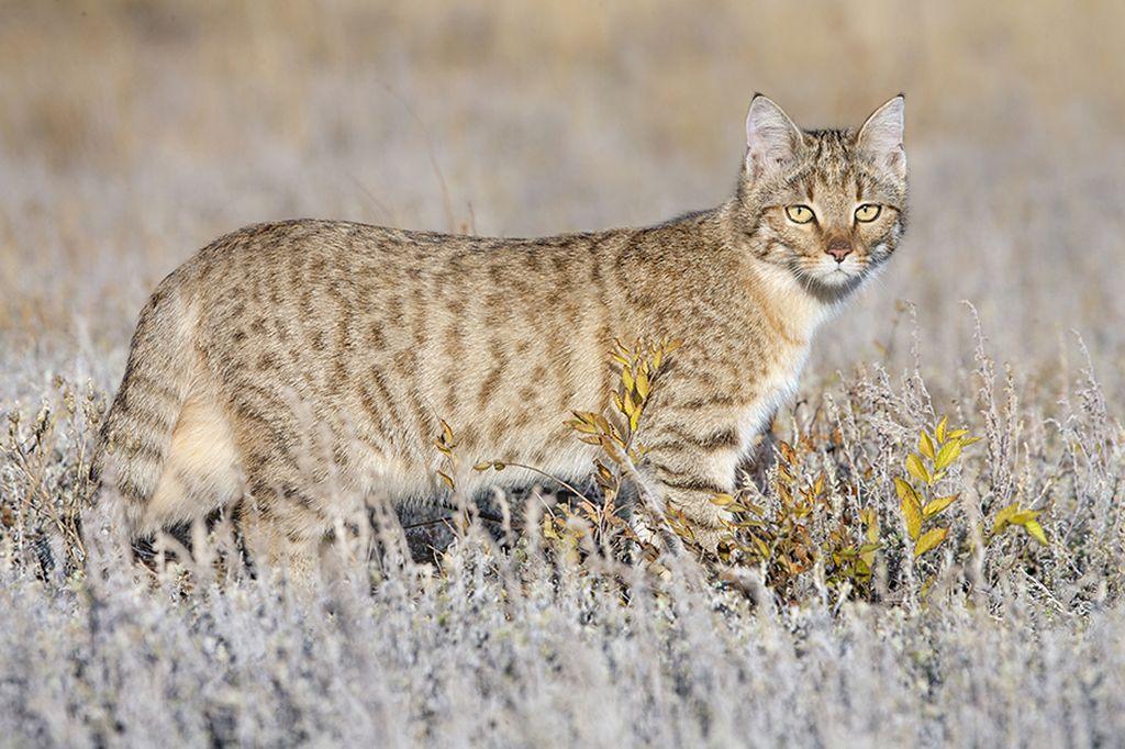 Окрас степного кота может быть песчаным или серым