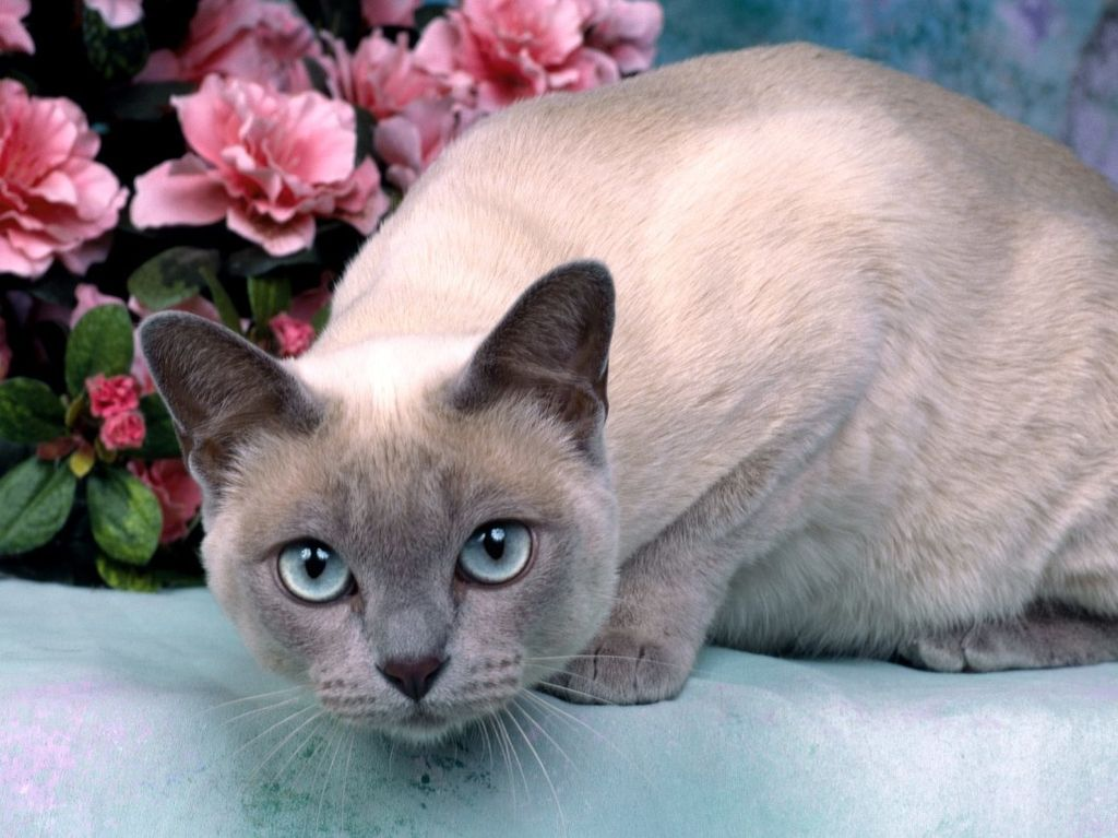 Тонкийская кошка окраса шампань
