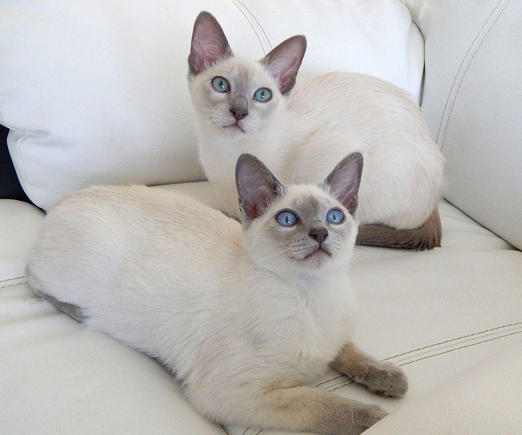 Питание тонкийских кошек должно быть двухразовым