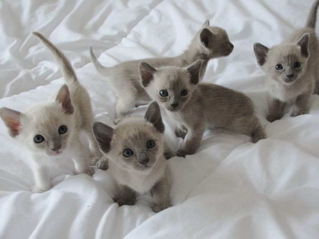 Стоимость котят тонкинской породы зависит от окраса и чистокровности