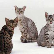 17 самых красивых и необычных пород кошек