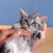 6 пород кошек с окрасом вискас