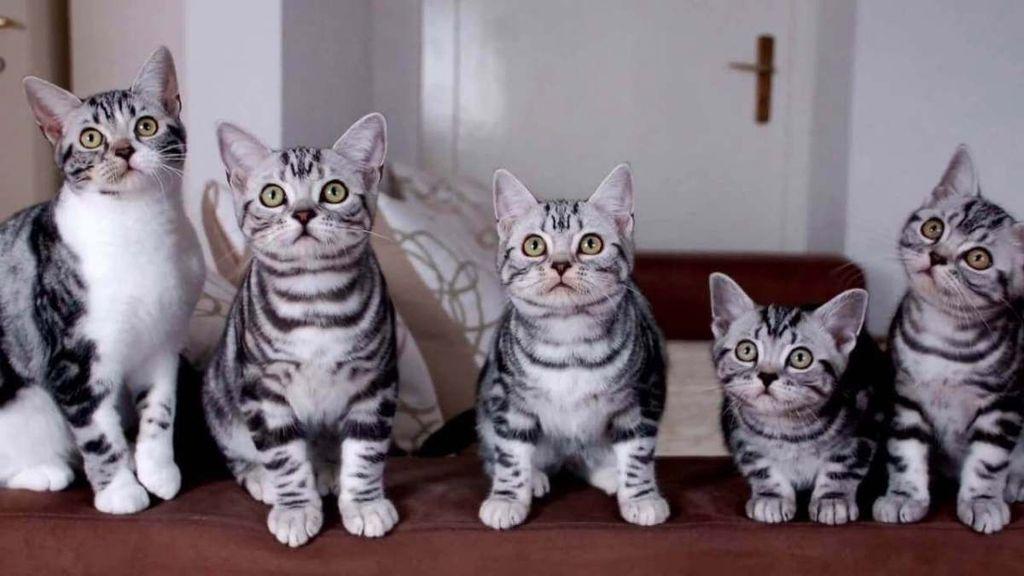 Кошки цвета табби обладают любознательностью