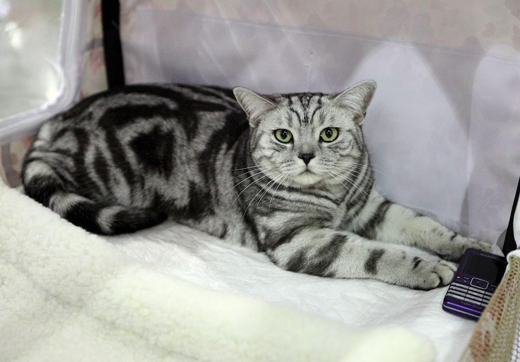 Кошка цвета мраморный табби