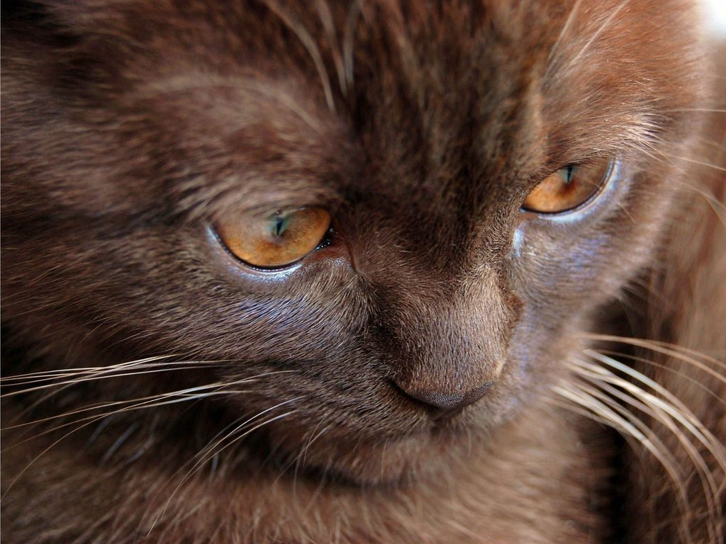 У йоркской шоколадной кошки вытянутая мордочка с заостренными ушками