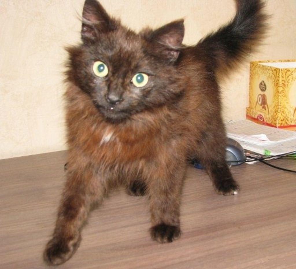 Каких-либо особенностей в разведении йоркширской шоколадной кошки не существует