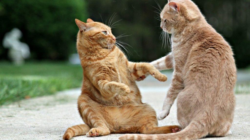Если ваш любимец гуляет на улице, то причиной заболевания могут стать и дворовые коты