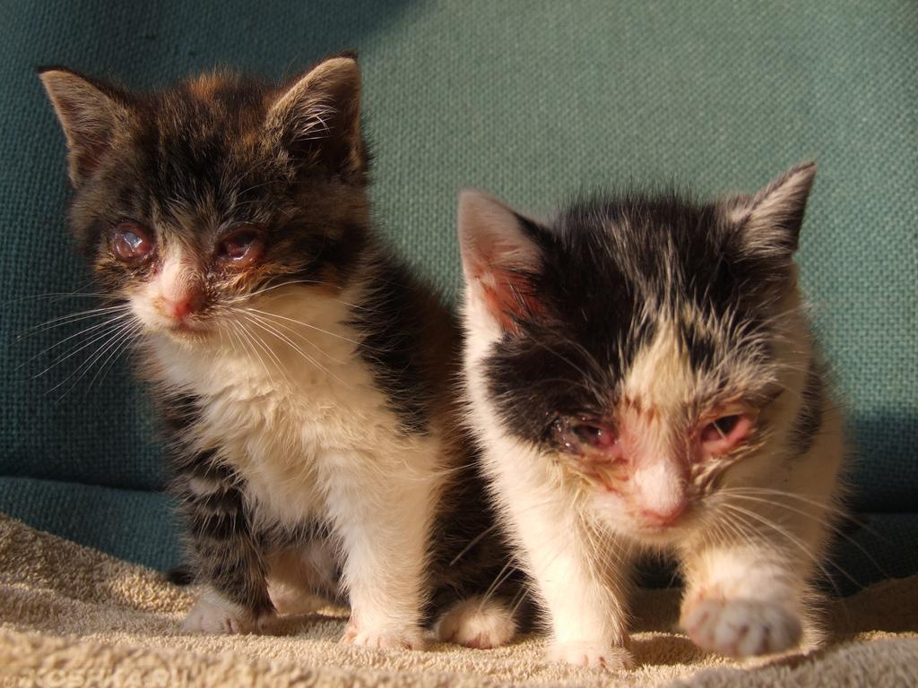 Микоплазмоз и котят