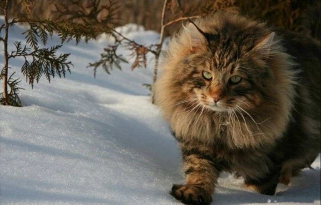 8 популярных пород полосатых котов и кошек