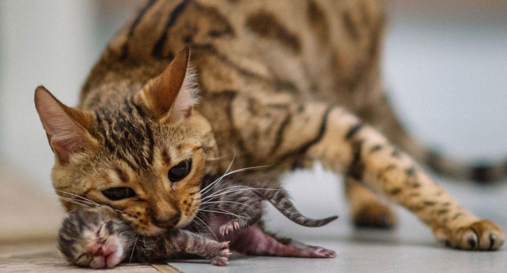 Беременная кошка может передать заболевание будущим котятам через плаценту