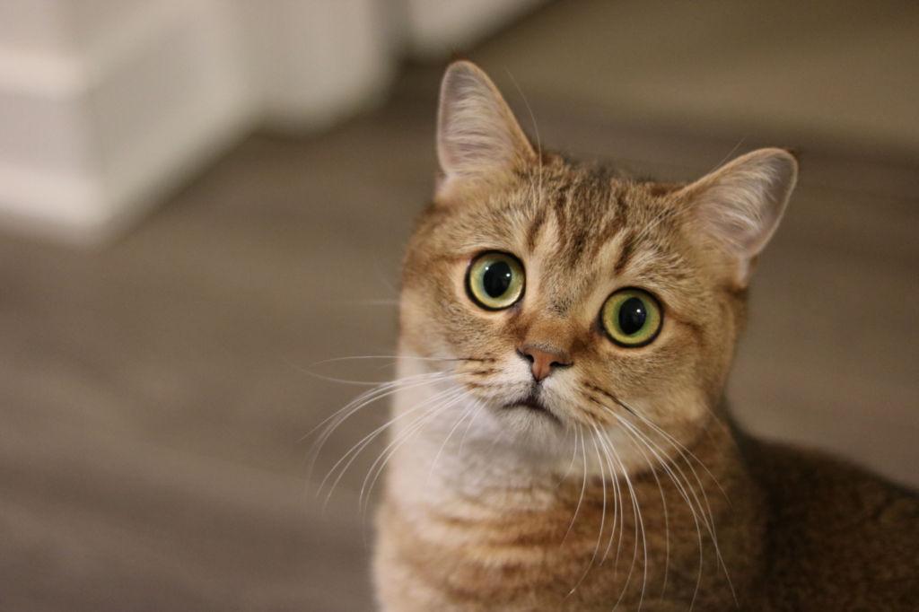 В каком возрасте кастрируют котов и последствия