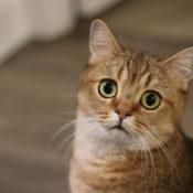 Симптомы и лечение лейкоза или вирусной лейкемии у кошек