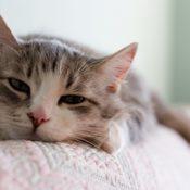 Симптомы и методы лечения кальцивироза у кошек