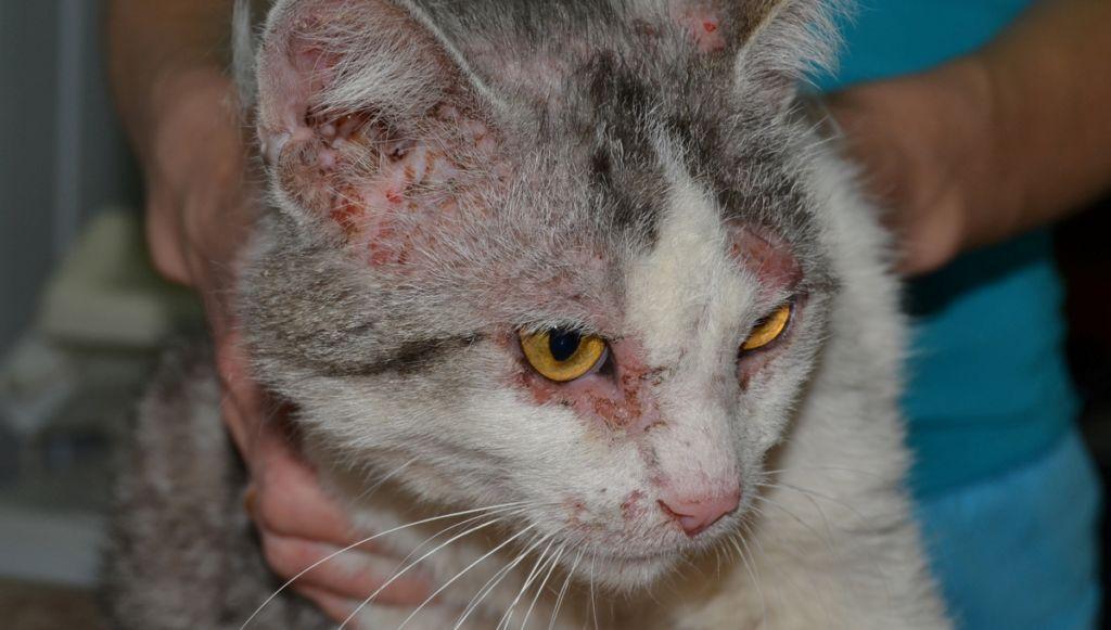 Демодекоз у кошки
