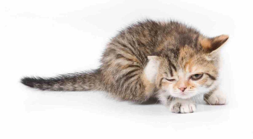 Причины, симптомы и лечение дерматофитоза у кошек и собак