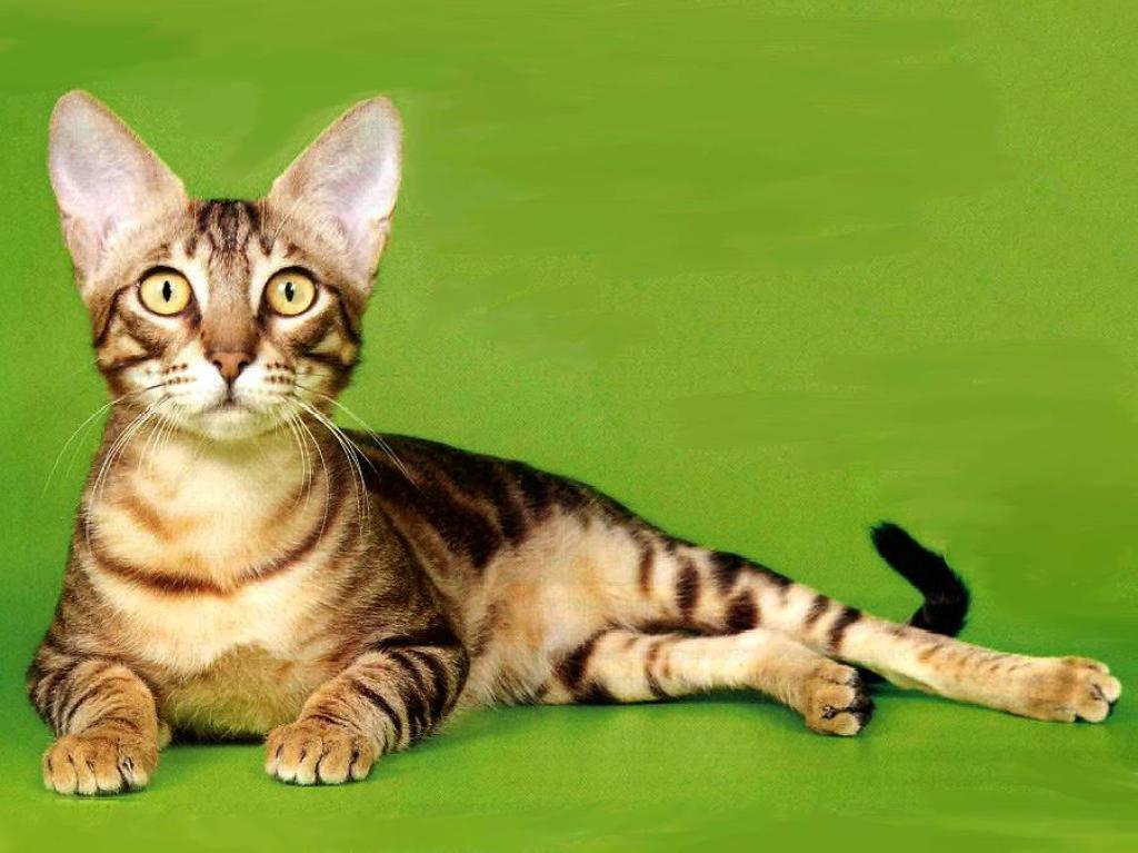 Соукок или кандзодзо - все это названия одной породы кошек
