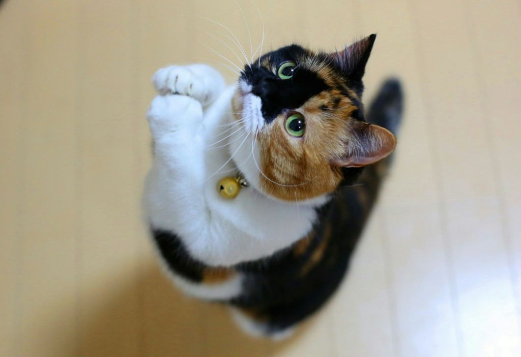 Как только коты взрослеют, их желание метить только возрастает