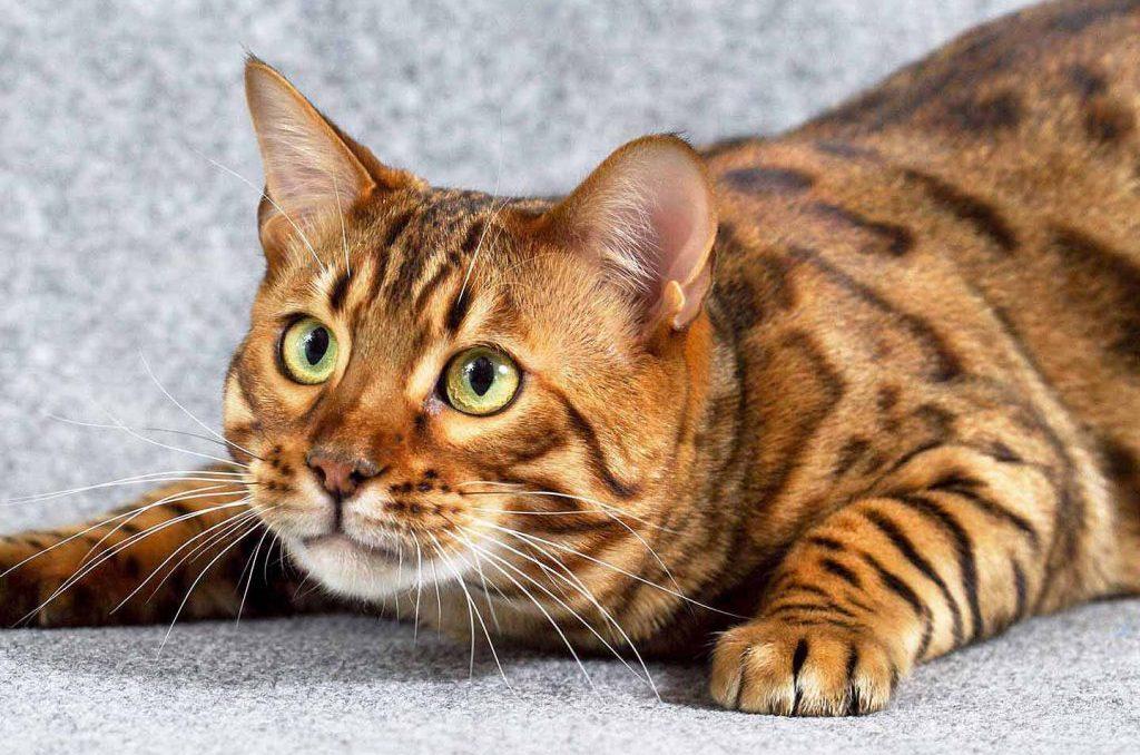 Зачем кастрировать кота и нужно ли это делать