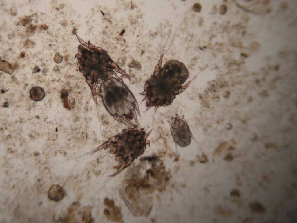 Ушные клещи под микроскопом