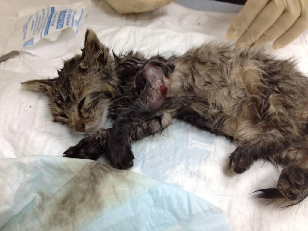 Если лечение чумки не начинается вовремя, от первых признаков до смерти, кошки проходит не более недели
