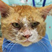 Симптомы и лечение нотоэдроза у кошек