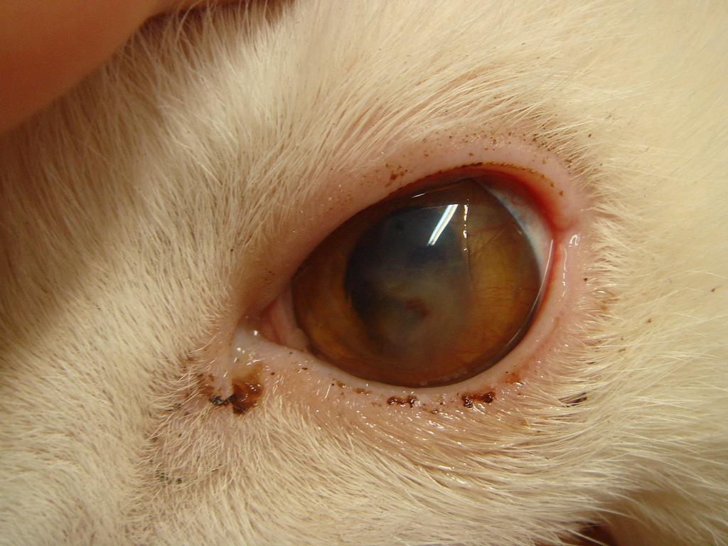 Хемоз конъюнктивы у кошек