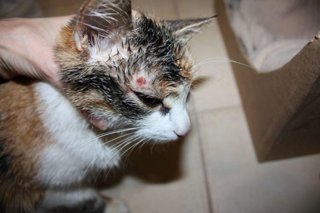 Заболеть грибковыми заболеваниями кошка может после любого контакта со спорами грибка — через рану, вместе с пищей, при вдохе