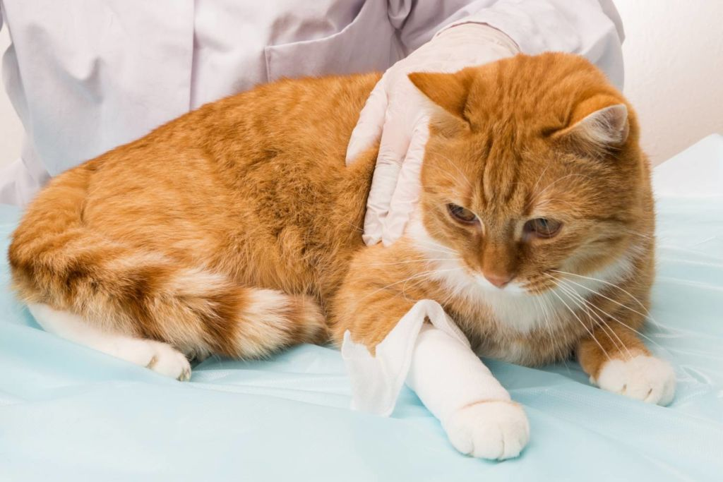 Обследование кота перед операцией