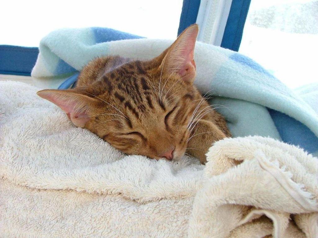 В течение инкубационного периода признаки заболевания лишаем у кошки могут полностью отсутствовать