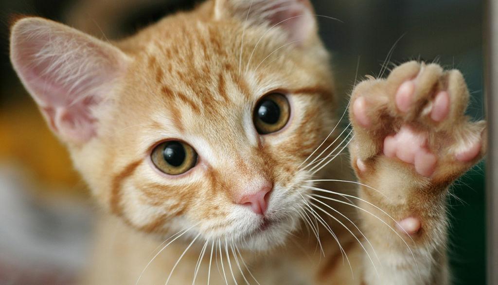 Терапия болезни кошачьих царапин проводится антибактериальными средствами