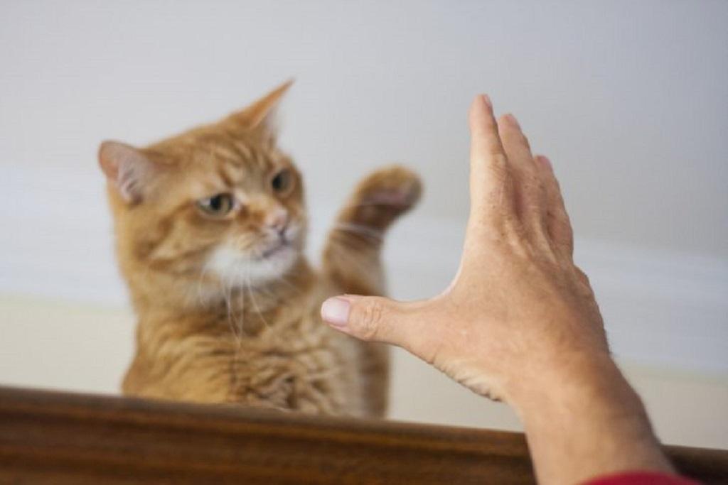 После контакта с больной кошкой необходимо тщательно мыть руки