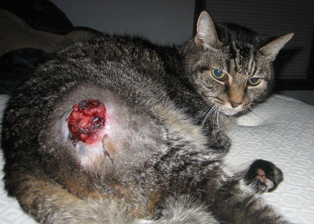 Онкологические заболевания встречаются едва ли не у каждой пятой кошки