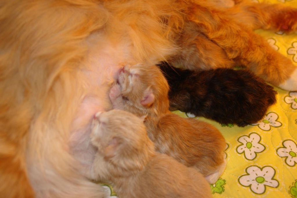 Интервал между рождением котят