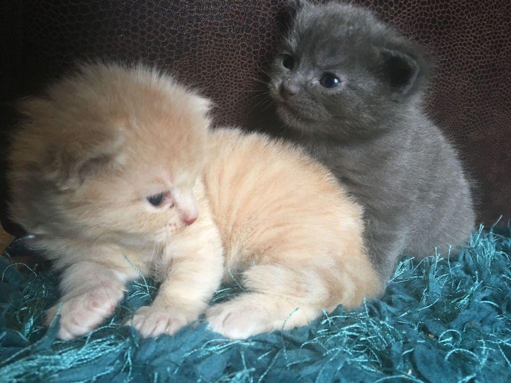 Стоимость котенка породы рагамаффин довольно высока