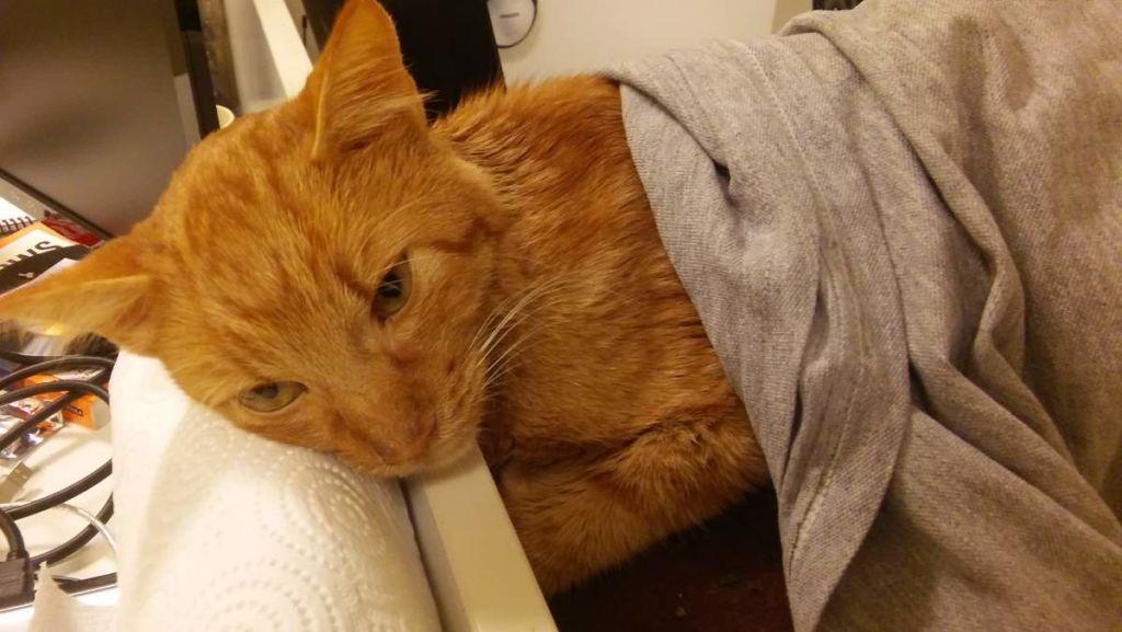 Больная короновирусом кошка
