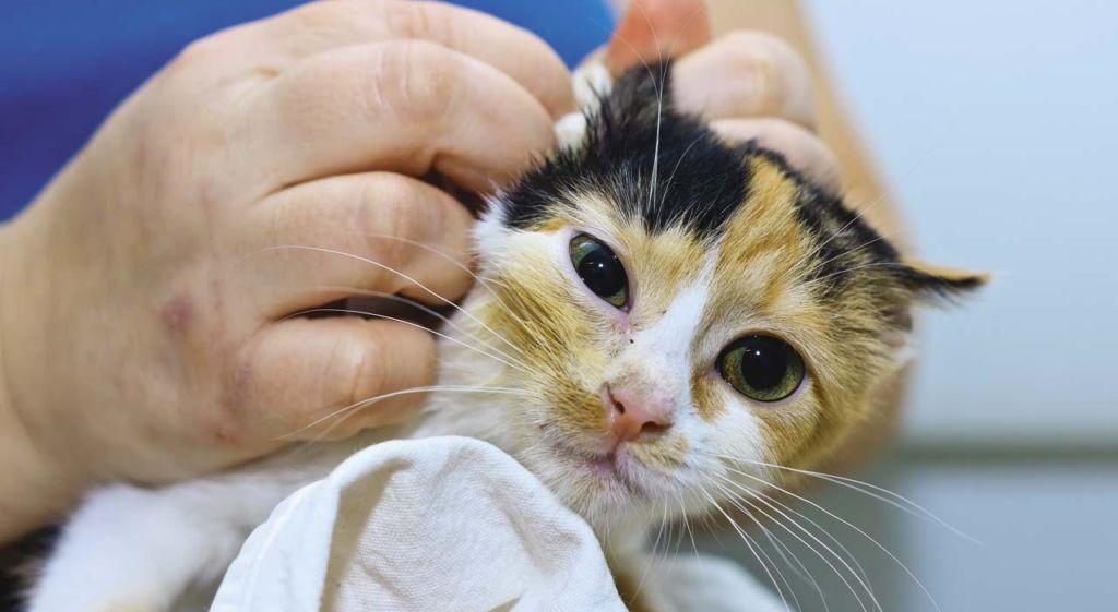 У кошек отит часто бывает осложнением отодектоза