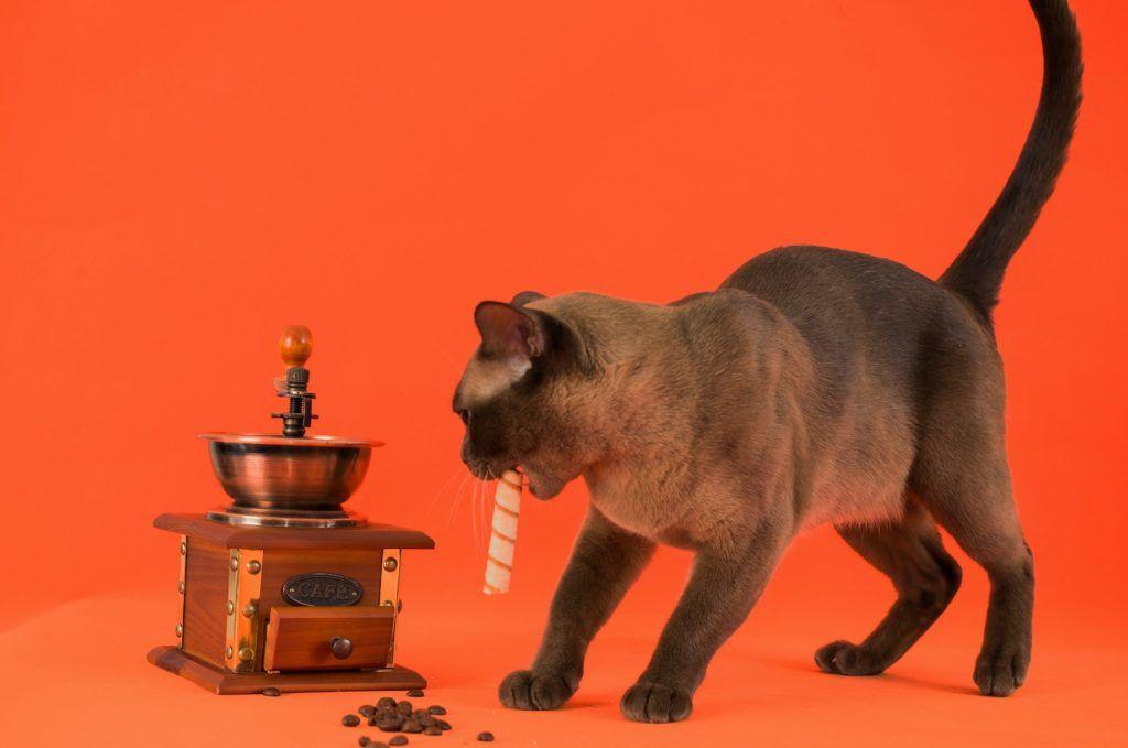 Стройная и активная кошка меньше подвержена приступам
