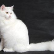 Как и чем лечить блошиный дерматит у кошек в домашних условиях
