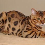 Симптомы и лечение чумки (панлейкопении) у кошек