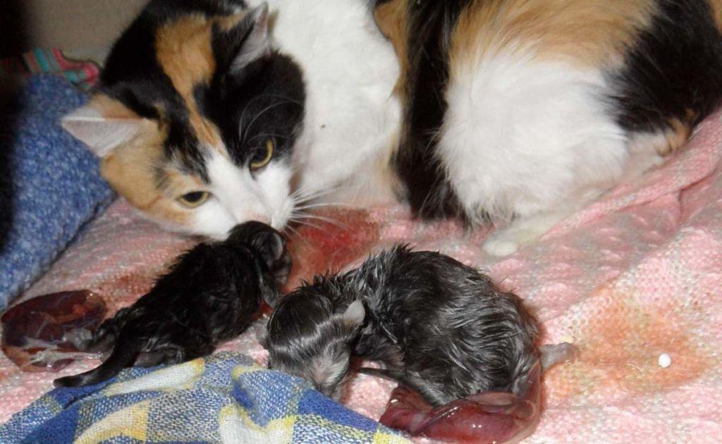 Как понять, что у кошки начались роды и как их принять