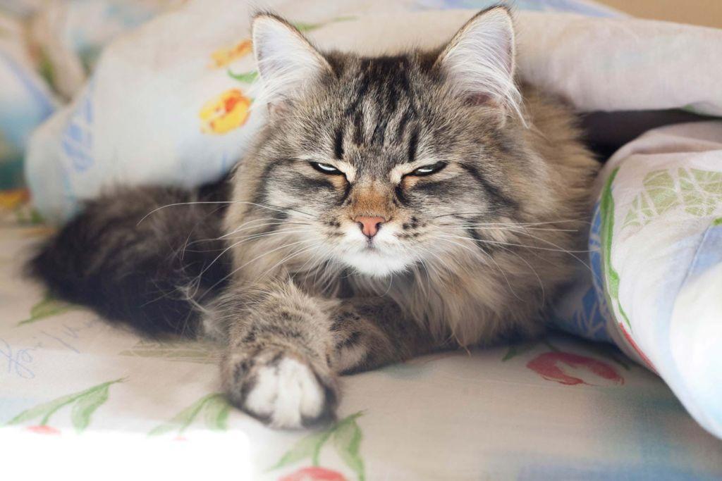 Лечение лямблиоза у каждой кошки индивидуально